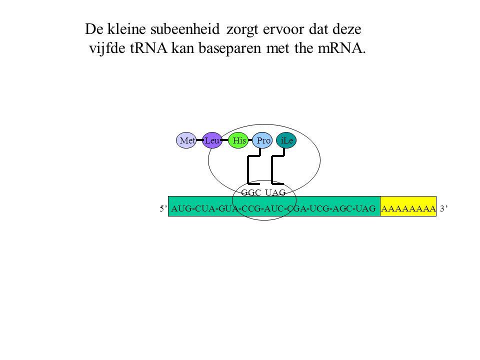 AAAAAAAA 3' MetLeuHis GGC Pro UAG iLe De kleine subeenheid zorgt ervoor dat deze vijfde tRNA kan baseparen met the mRNA. 5' AUG-CUA-GUA-CCG-AUC-CGA-UC