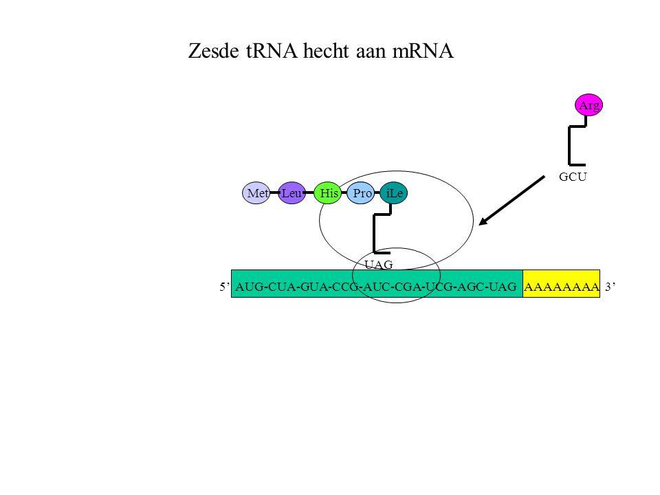 AAAAAAAA 3' MetLeuHisPro UAG iLe GCU Arg Zesde tRNA hecht aan mRNA 5' AUG-CUA-GUA-CCG-AUC-CGA-UCG-AGC-UAG