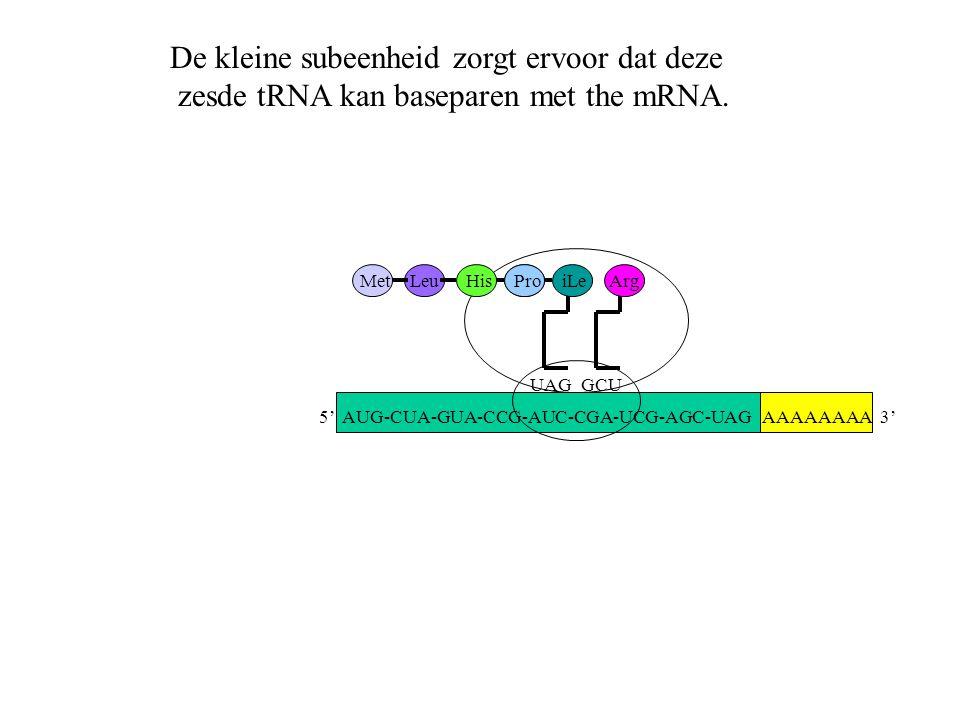 AAAAAAAA 3' MetLeuHisPro UAG iLe GCU Arg De kleine subeenheid zorgt ervoor dat deze zesde tRNA kan baseparen met the mRNA. 5' AUG-CUA-GUA-CCG-AUC-CGA-