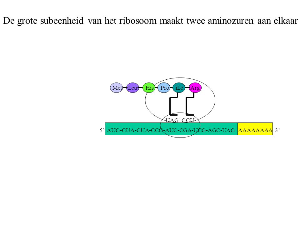 AAAAAAAA 3' MetLeuHisPro UAG iLe GCU Arg De grote subeenheid van het ribosoom maakt twee aminozuren aan elkaar 5' AUG-CUA-GUA-CCG-AUC-CGA-UCG-AGC-UAG