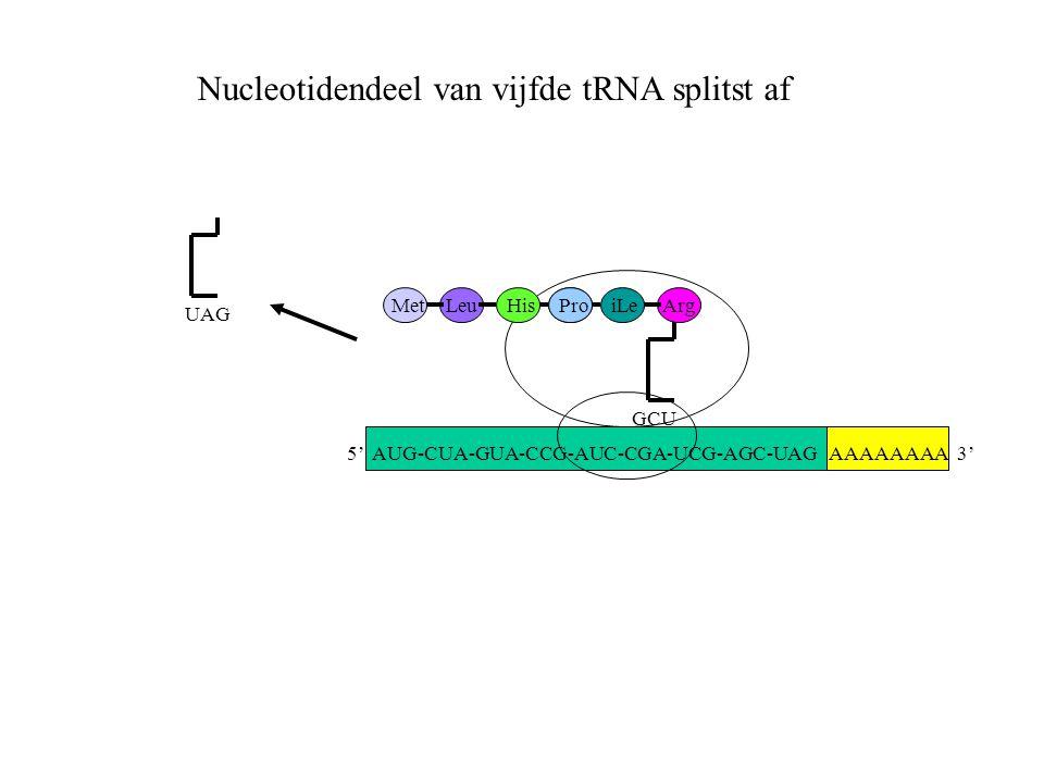 AAAAAAAA 3' MetLeuHisProiLe GCU Arg UAG Nucleotidendeel van vijfde tRNA splitst af 5' AUG-CUA-GUA-CCG-AUC-CGA-UCG-AGC-UAG