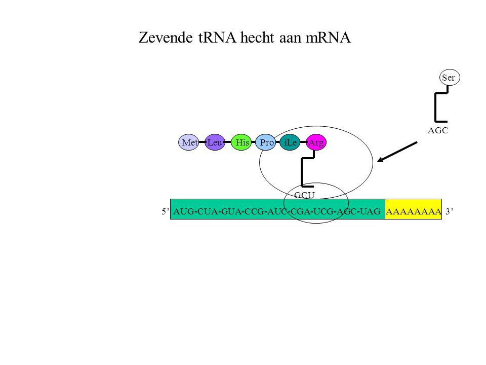AAAAAAAA 3' MetLeuHisProiLe GCU Arg AGC Ser Zevende tRNA hecht aan mRNA 5' AUG-CUA-GUA-CCG-AUC-CGA-UCG-AGC-UAG