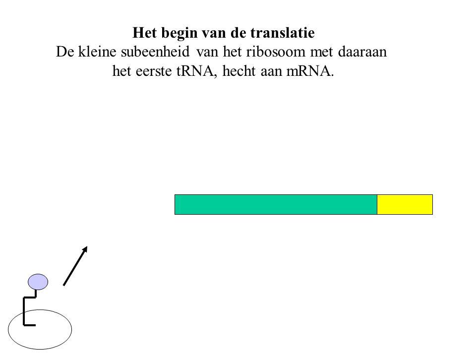 Het begin van de translatie De kleine subeenheid van het ribosoom met daaraan het eerste tRNA, hecht aan mRNA.