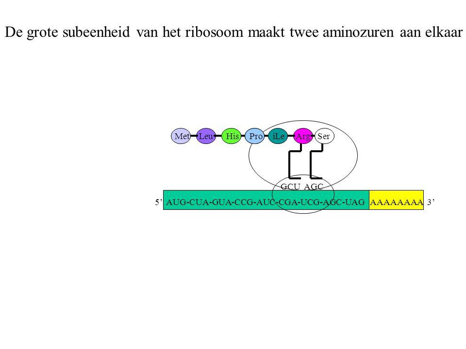 AAAAAAAA 3' MetLeuHisProiLe GCU Arg AGC Ser De grote subeenheid van het ribosoom maakt twee aminozuren aan elkaar 5' AUG-CUA-GUA-CCG-AUC-CGA-UCG-AGC-U