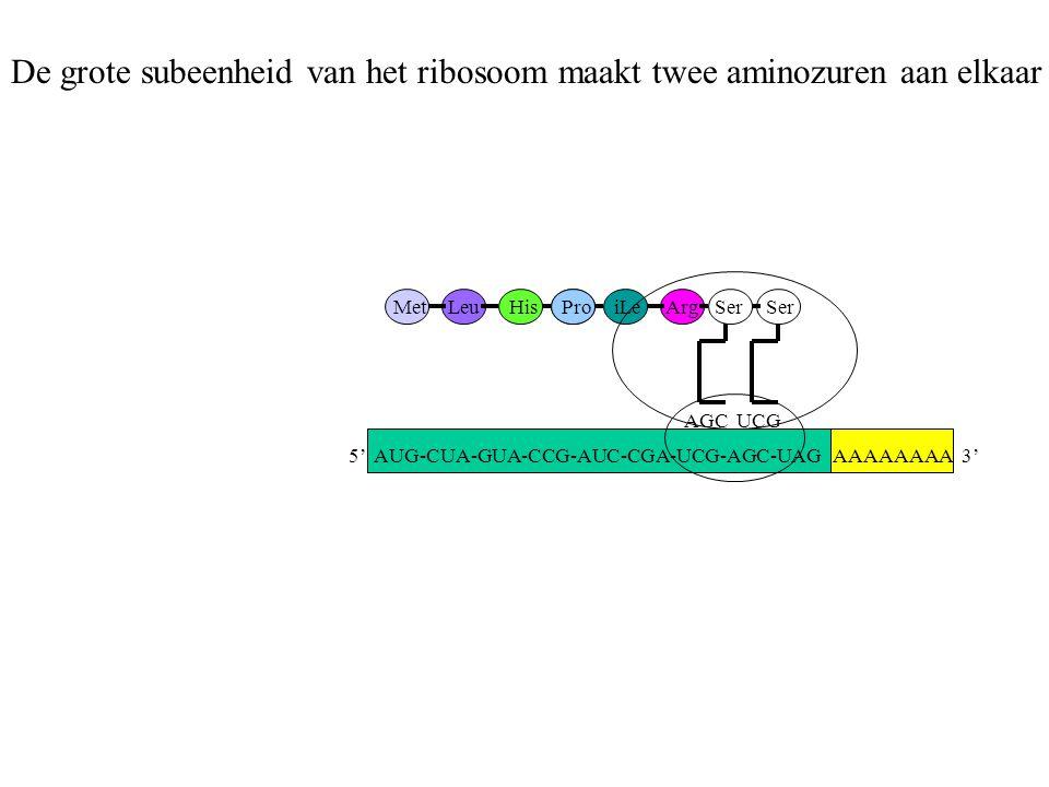 AAAAAAAA 3' MetLeuHisProiLeArg AGC Ser UCG Ser De grote subeenheid van het ribosoom maakt twee aminozuren aan elkaar 5' AUG-CUA-GUA-CCG-AUC-CGA-UCG-AG