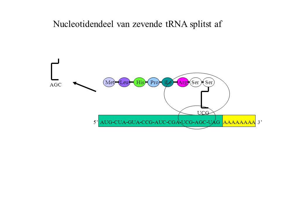 AAAAAAAA 3' MetLeuHisProiLeArgSer UCG Ser AGC Nucleotidendeel van zevende tRNA splitst af 5' AUG-CUA-GUA-CCG-AUC-CGA-UCG-AGC-UAG