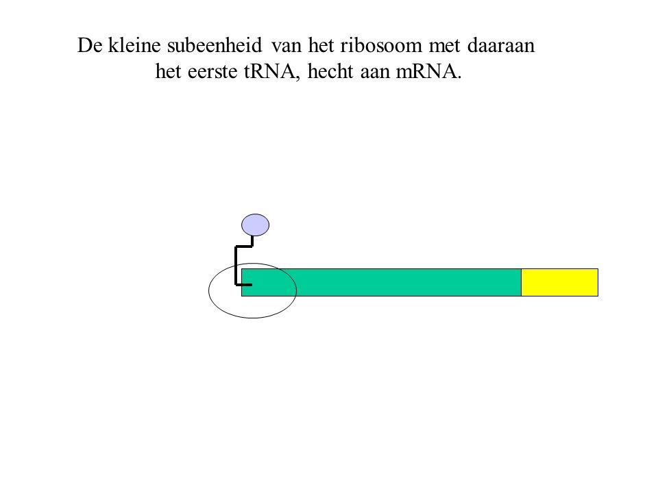 De kleine subeenheid van het ribosoom met daaraan het eerste tRNA, hecht aan mRNA.