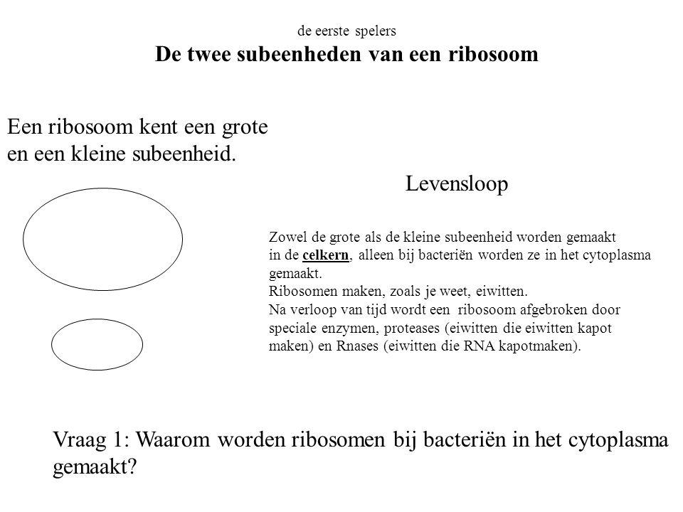 de eerste spelers De twee subeenheden van een ribosoom Een ribosoom kent een grote en een kleine subeenheid. Zowel de grote als de kleine subeenheid w