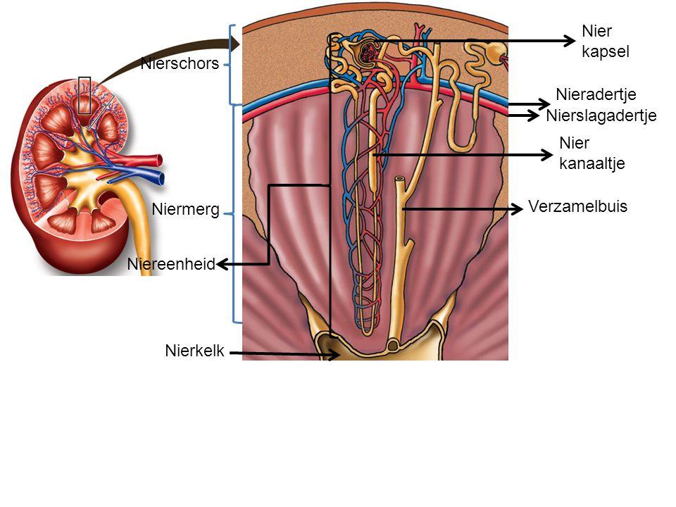 Nierschors Niermerg Nierbekken Ultrafiltratie: 10% van bloedplasma wordt in het nierkapsel geperst Hierbij ontstaat voorurine (150 liter per dag) Voorurine bevat: water, zouten, ureum, aminozuren, glucose Eiwitten en bloedcellen blijven in het bloed achter en komen normaal niet in voorurine