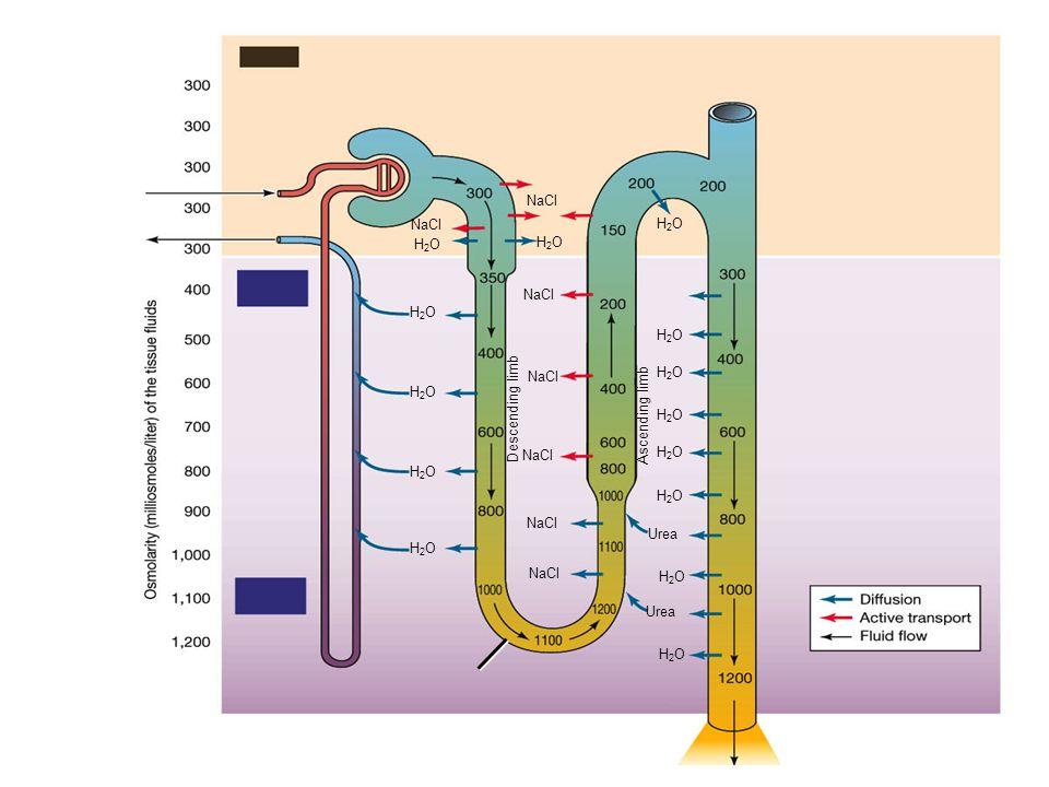onderzoek door een laborant Een laborant treft in een vloeistof uit een gezond persoon aan: ureum, zout, water en glucose Geen eiwit en geen bloedcellen: Waar komt deze vloeistof vandaan.