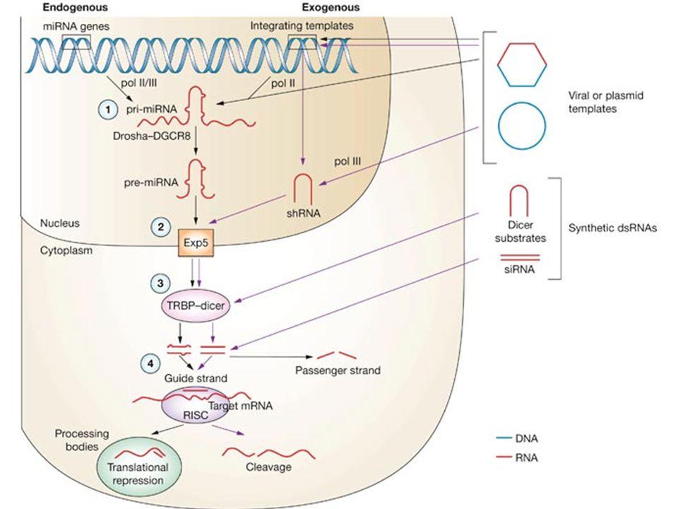 Effecten mutaties Vervangen: Een te kort eiwit door een extra stopcodon.