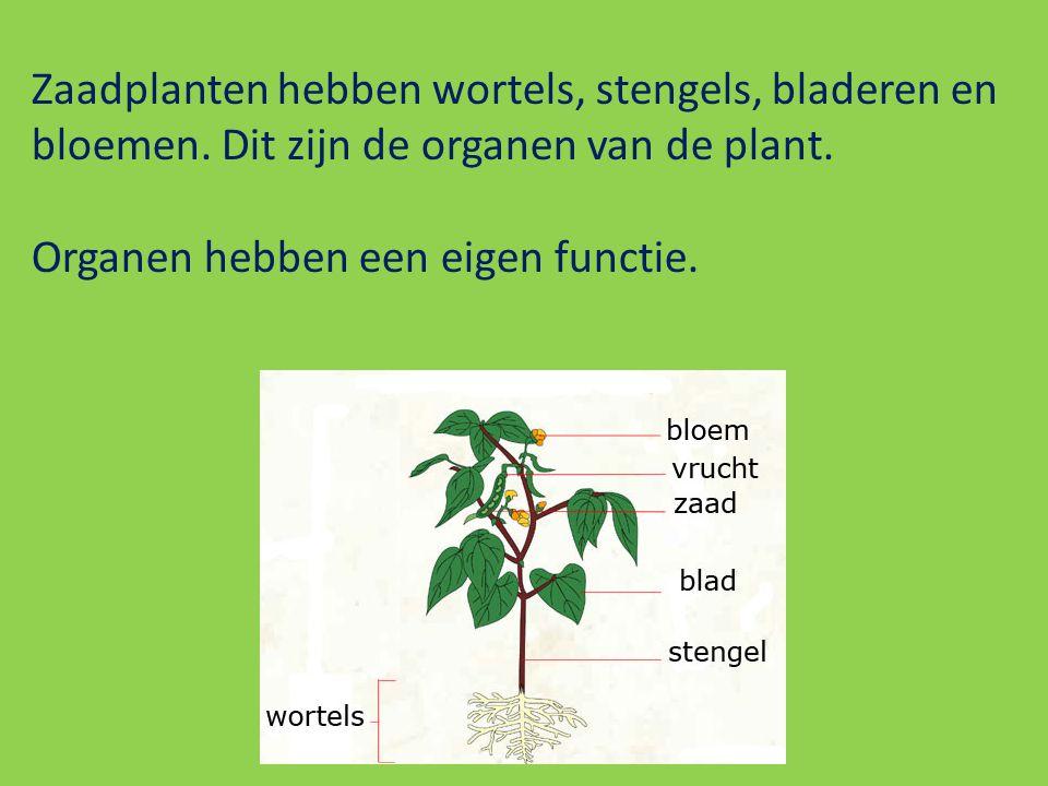 Zaadplanten hebben wortels, stengels, bladeren en bloemen. Dit zijn de organen van de plant. Organen hebben een eigen functie.