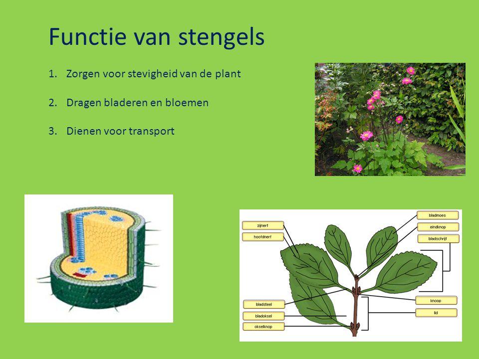 Functie van stengels 1.Zorgen voor stevigheid van de plant 2.Dragen bladeren en bloemen 3.Dienen voor transport