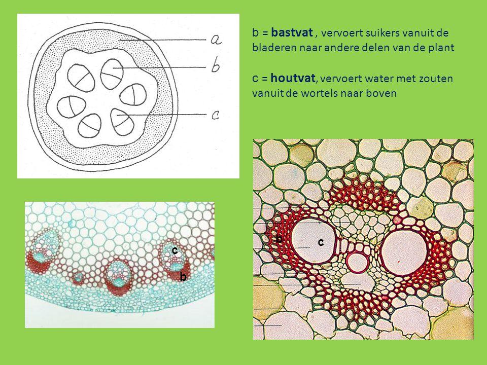 c b c b b = bastvat, vervoert suikers vanuit de bladeren naar andere delen van de plant c = houtvat, vervoert water met zouten vanuit de wortels naar