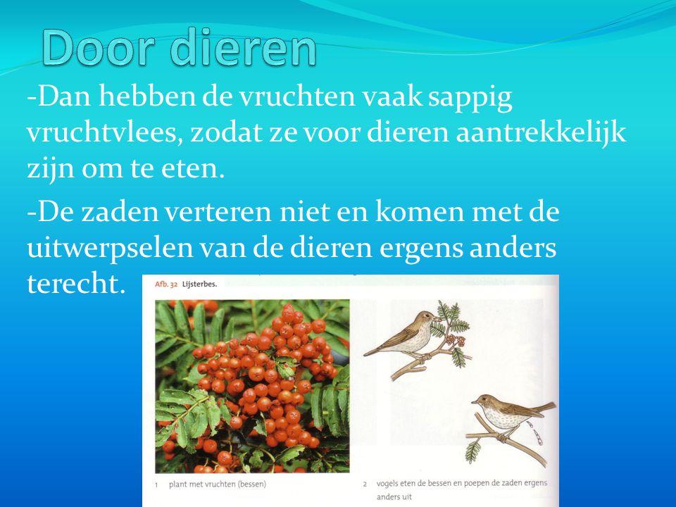 -Dan hebben de vruchten vaak sappig vruchtvlees, zodat ze voor dieren aantrekkelijk zijn om te eten. -De zaden verteren niet en komen met de uitwerpse
