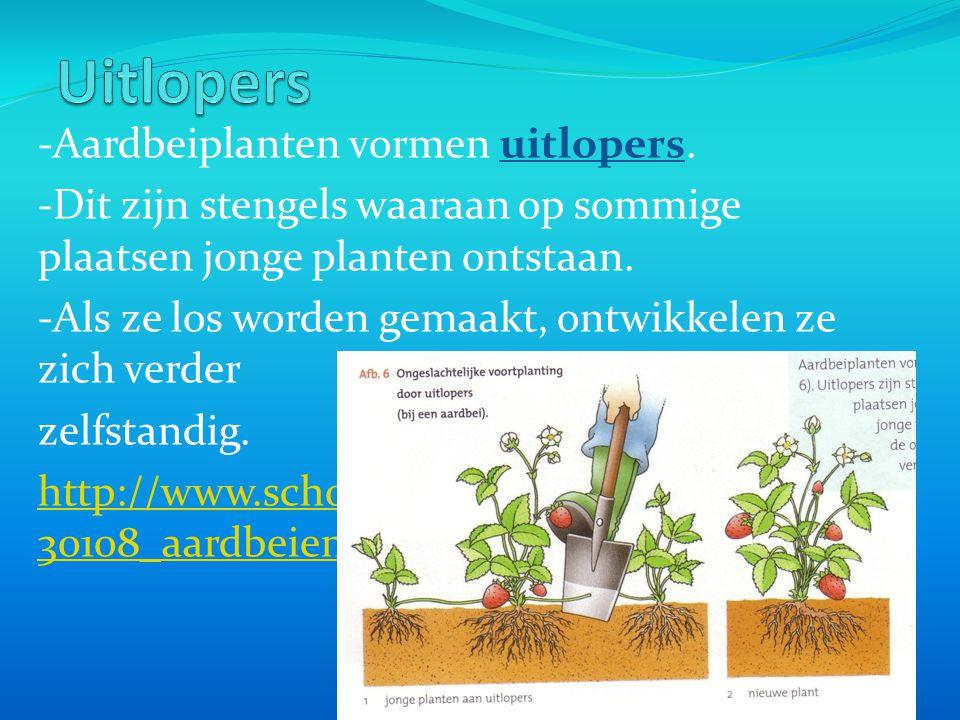 -Aardbeiplanten vormen uitlopers. -Dit zijn stengels waaraan op sommige plaatsen jonge planten ontstaan. -Als ze los worden gemaakt, ontwikkelen ze zi