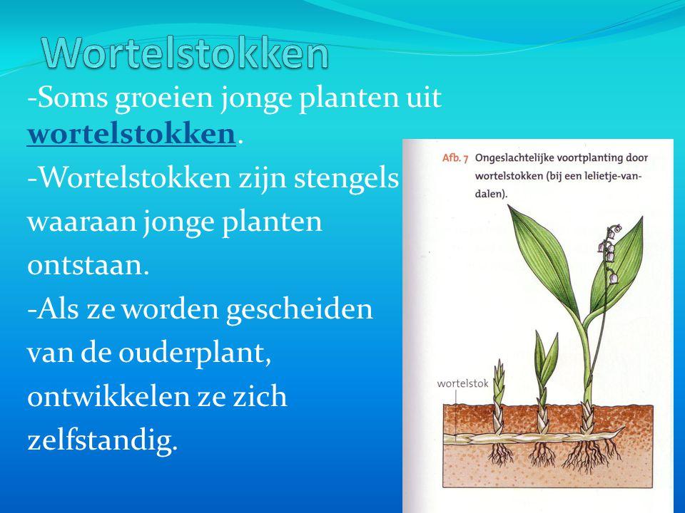 -Soms groeien jonge planten uit wortelstokken. -Wortelstokken zijn stengels waaraan jonge planten ontstaan. -Als ze worden gescheiden van de ouderplan