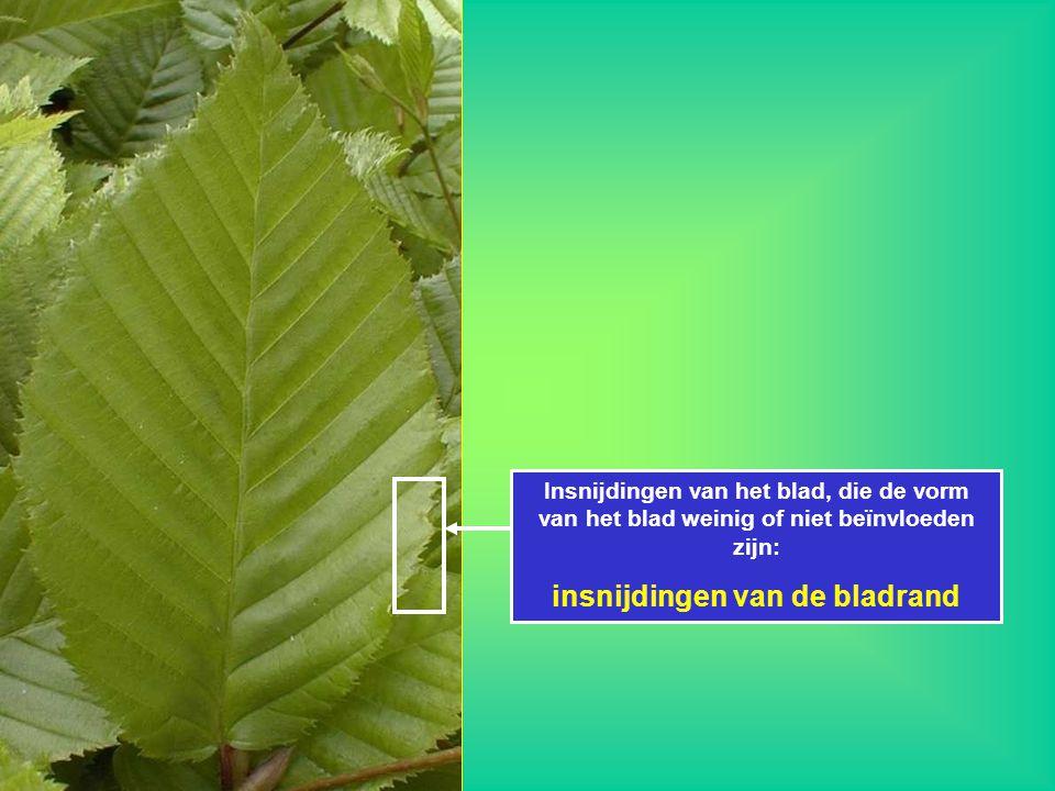 Insnijdingen van het blad, die de vorm van het blad weinig of niet beïnvloeden zijn: insnijdingen van de bladrand