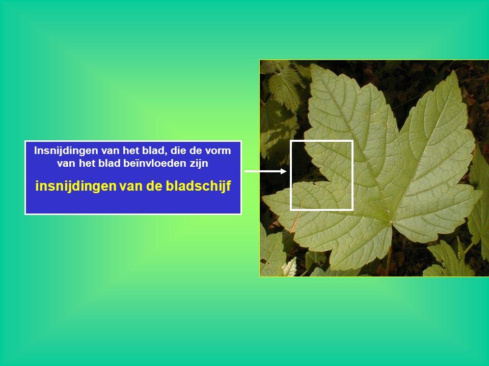 Insnijdingen van het blad, die de vorm van het blad beïnvloeden zijn insnijdingen van de bladschijf