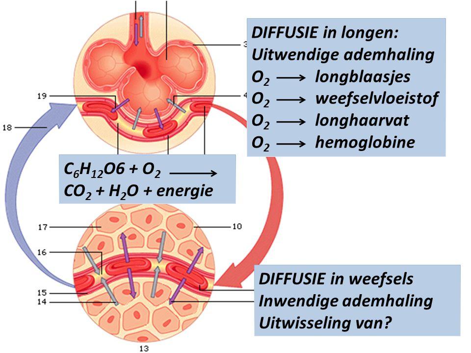 DIFFUSIE in longen: Uitwendige ademhaling O 2 longblaasjes O 2 weefselvloeistof O 2 longhaarvat O 2 hemoglobine DIFFUSIE in weefsels Inwendige ademhaling Uitwisseling van.