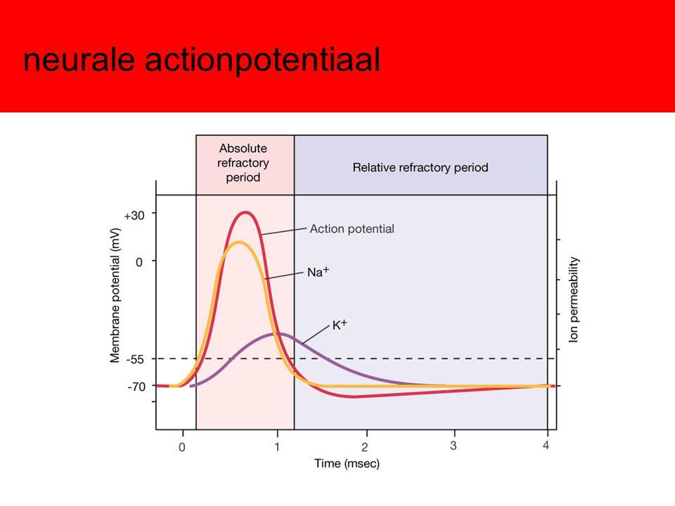 Natrium kanaal dicht inactief repolarisatie de-inactivatie depolarisatie activatie repolarisatie de-activatie depolarisatie inactivatie repolarisatie re-activatie open Na