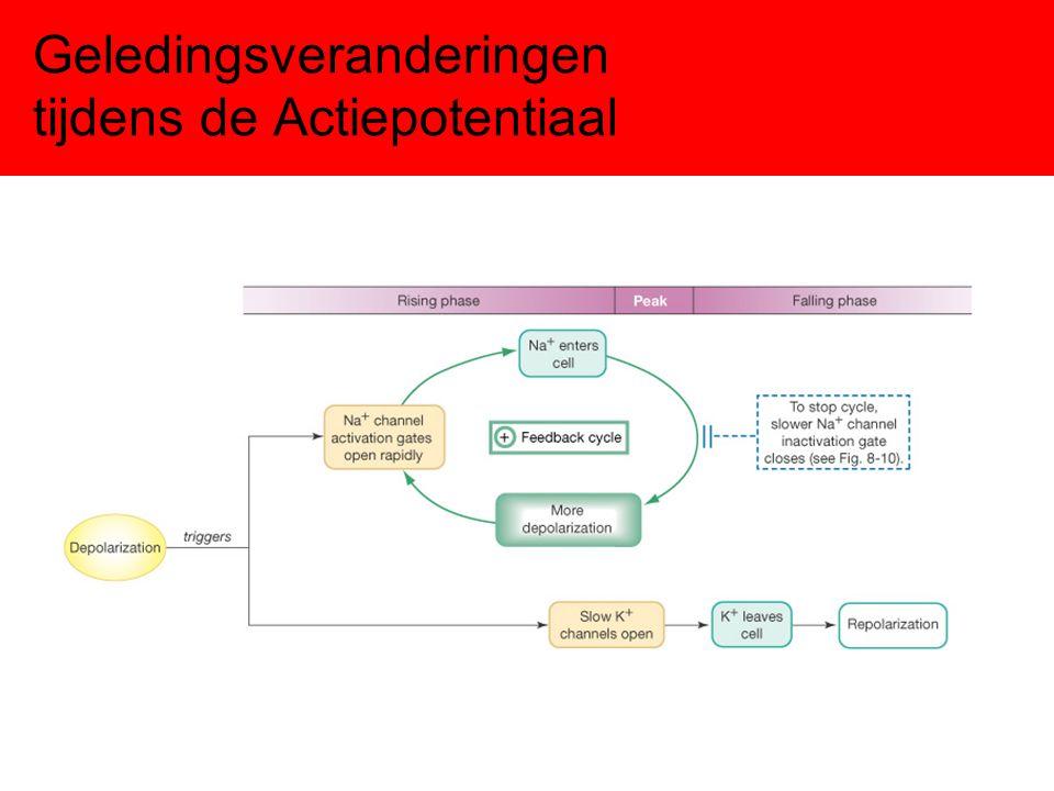 Actiepotentiaal Hartcellen duur actiepotentiaal ≠ 2 maar 200 ms duur actiepotentiaal ≠ 2 maar 200 ms behalve PNa & PK speelt nu ook PCa een belangrijke rol.