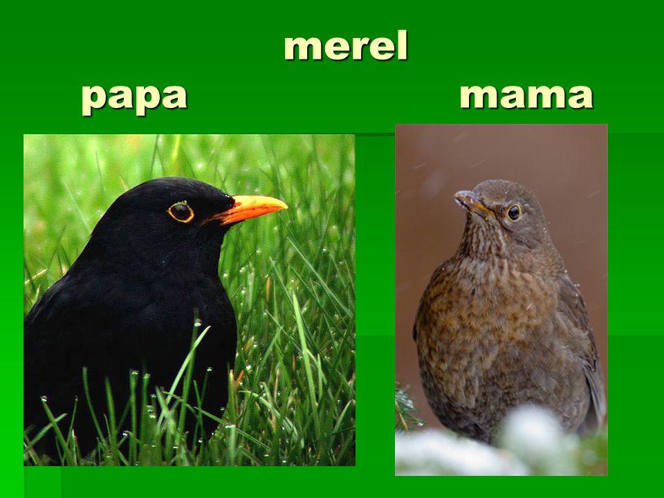 merel papa mama merel papa mama