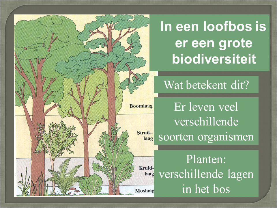 In een loofbos is er een grote biodiversiteit Wat betekent dit? Er leven veel verschillende soorten organismen Planten: verschillende lagen in het bos