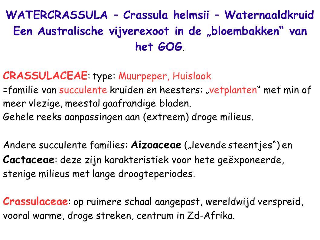 """WATERCRASSULA – Crassula helmsii – Waternaaldkruid Een Australische vijverexoot in de """"bloembakken"""" van het GOG. CRASSULACEAE : type: Muurpeper, Huisl"""
