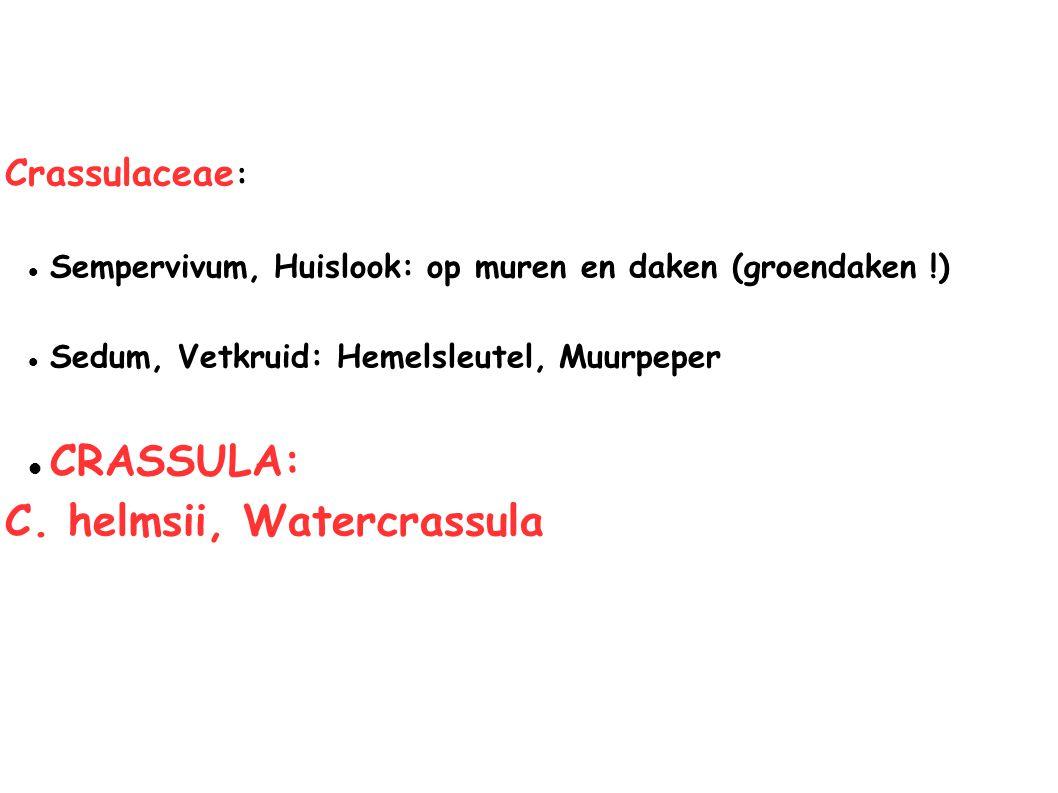 Crassulaceae : Sempervivum, Huislook: op muren en daken (groendaken !) Sedum, Vetkruid: Hemelsleutel, Muurpeper CRASSULA: C. helmsii, Watercrassula