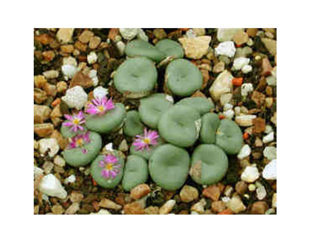 """Crassulaceae: plaats in de """"plantensystematiek : Klassieke Classificatiesysteem (Cronquist 1981): Orde Saxifragales (Steenbreek)"""