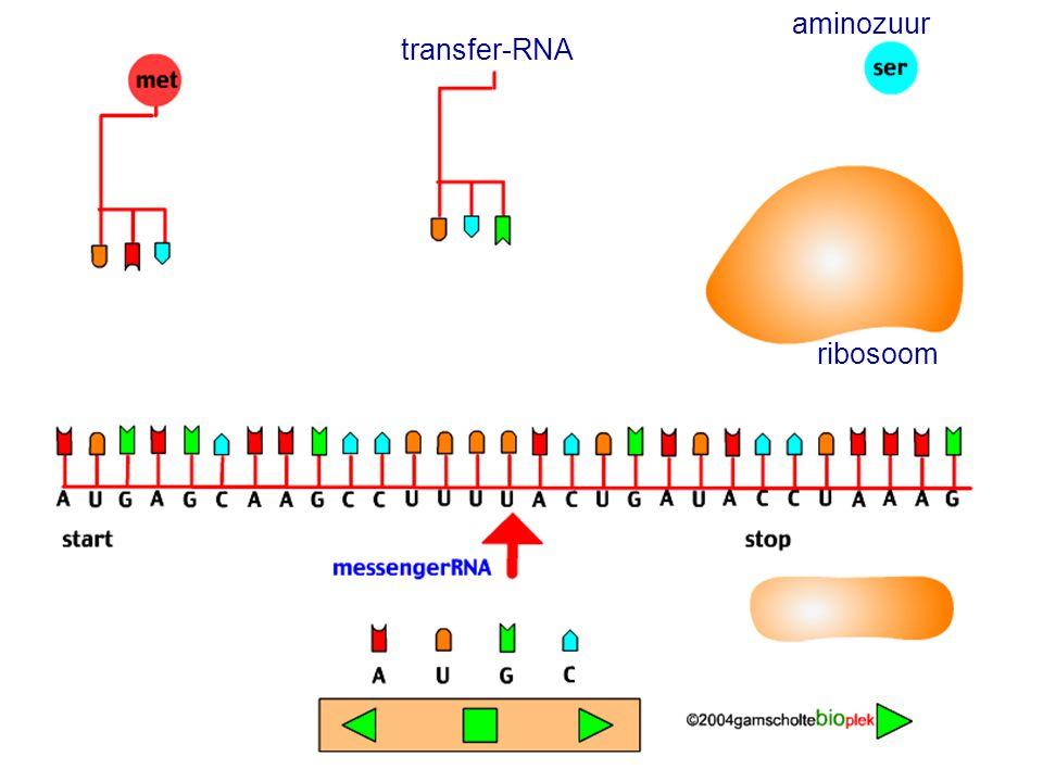 transfer-RNA aminozuur ribosoom