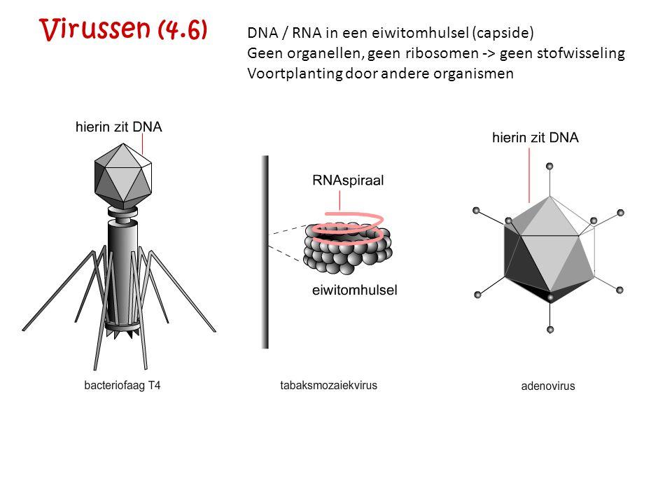 Virussen (4.6) DNA / RNA in een eiwitomhulsel (capside) Geen organellen, geen ribosomen -> geen stofwisseling Voortplanting door andere organismen
