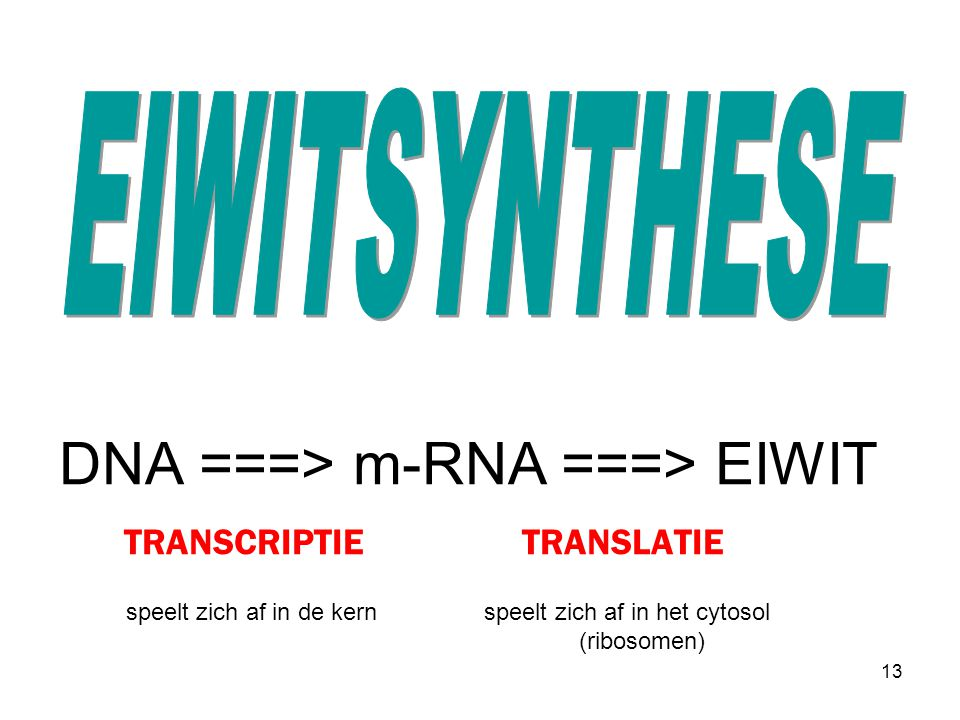 DNA ===> m-RNA ===> EIWIT TRANSCRIPTIE TRANSLATIE speelt zich af in de kern speelt zich af in het cytosol (ribosomen) 13