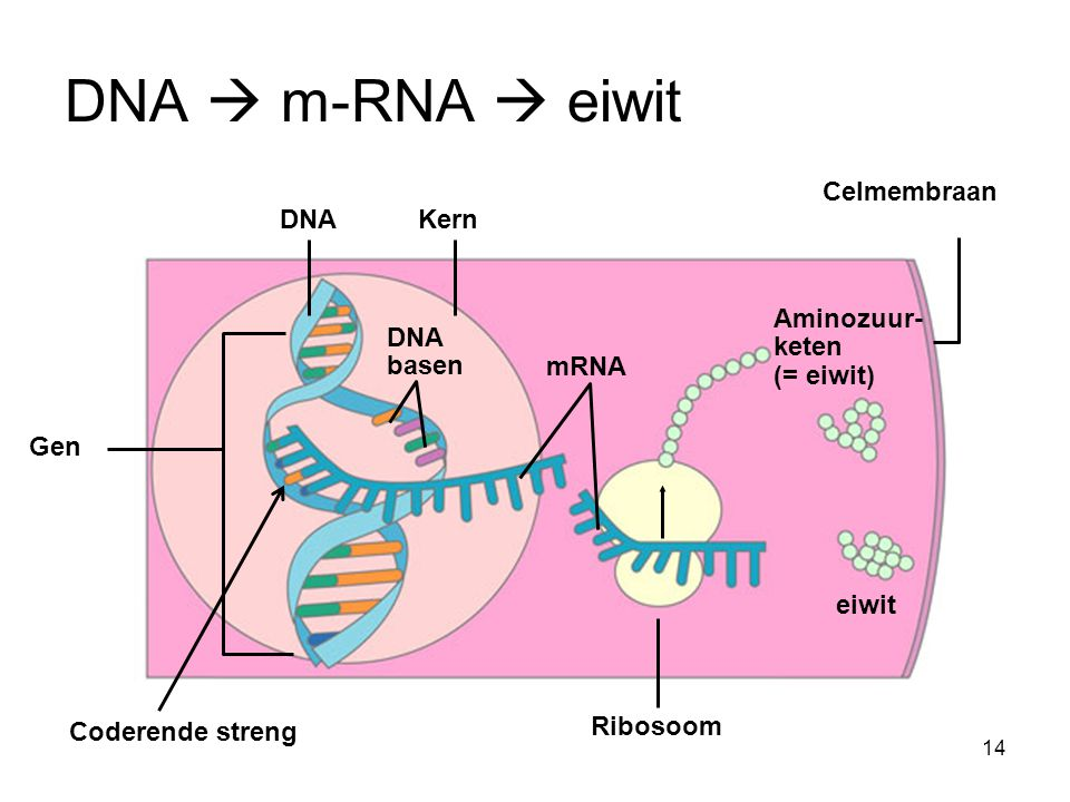 Kern DNA basen mRNA DNA eiwit Ribosoom Celmembraan Gen Aminozuur- keten (= eiwit) DNA  m-RNA  eiwit Coderende streng 14