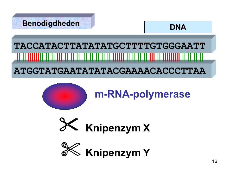 DNA Benodigdheden ATGGTATGAATATATACGAAAACACCCTTAA  Knipenzym X m-RNA-polymerase TACCATACTTATATATGCTTTTGTGGGAATT  Knipenzym Y 16