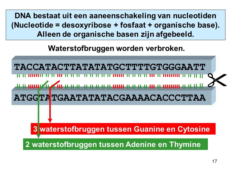 ATGGTATGAATATATACGAAAACACCCTTAA TACCATACTTATATATGCTTTTGTGGGAATT DNA bestaat uit een aaneenschakeling van nucleotiden (Nucleotide = desoxyribose + fosfaat + organische base).