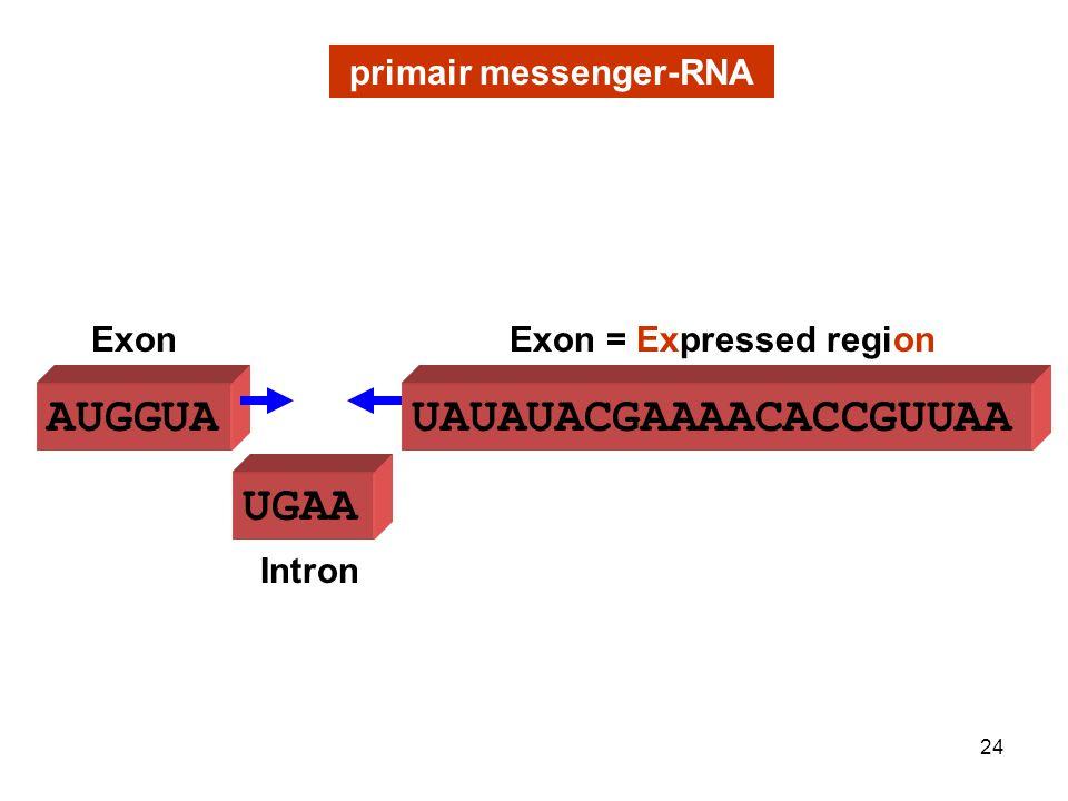 UGAA primair messenger-RNA AUGGUA Intron ExonExon = Expressed region UAUAUACGAAAACACCGUUAA 24