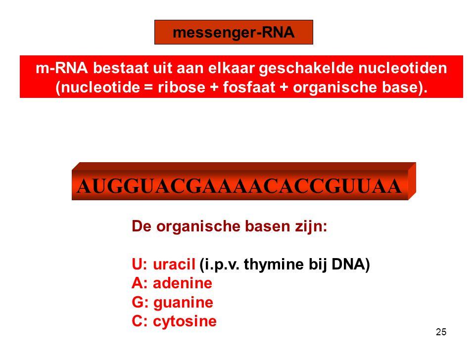 AUGGUACGAAAACACCGUUAA messenger-RNA m-RNA bestaat uit aan elkaar geschakelde nucleotiden (nucleotide = ribose + fosfaat + organische base).