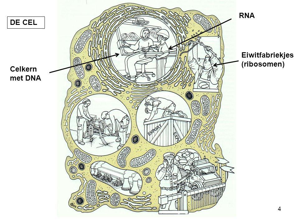 DE CEL Celkern met DNA RNA Eiwitfabriekjes (ribosomen) 4