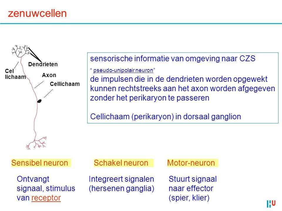 23 Zintuigen Haren v haarcel Neuro- trans- mitter bij synaps Sensorisch neuron Meer neuro- trans- mitter (a) Geen buiging van haren(b) Buiging van haren in de ene richting(c) Buiging van haren in de ander richting Minder neuro- trans- mitter Actie potentialen Membraan potentiaal (mV) 0 –70 0 1 2 3 4 5 6 7 Tijd (sec) Signaal –70 –50 Receptor potentiaal Membraan potentiaal (mV) 0 –70 0 1 2 3 4 5 6 7 Tijd (sec) –70 –50 Membraan potentiaal (mV) 0 –70 0 1 2 3 4 5 6 7 Tijd (sec) –70 –50 Signal Volume (hard/zacht) haren bewegen meer of minder; frequentie actiepotentialen hoger, of lager Toonhoogte (frequentie) verschillende locaties in slakkenhuis (op basilair membraan) Gehoor, balans