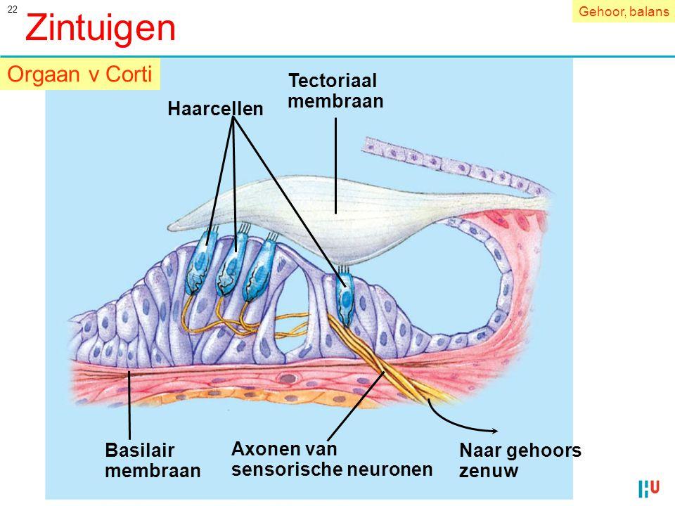 22 Tectoriaal membraan Naar gehoors zenuw Axonen van sensorische neuronen Basilair membraan Haarcellen Zintuigen Orgaan v Corti Gehoor, balans