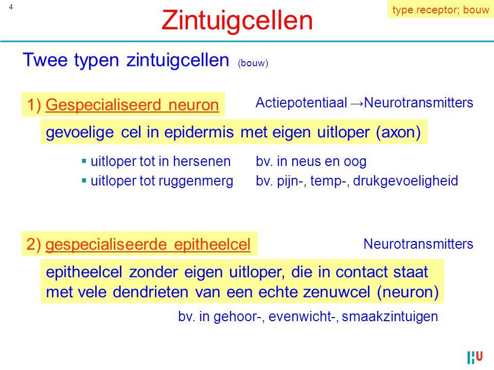 4 Zintuigcellen Twee typen zintuigcellen (bouw) 1) Gespecialiseerd neuron gevoelige cel in epidermis met eigen uitloper (axon) bv.