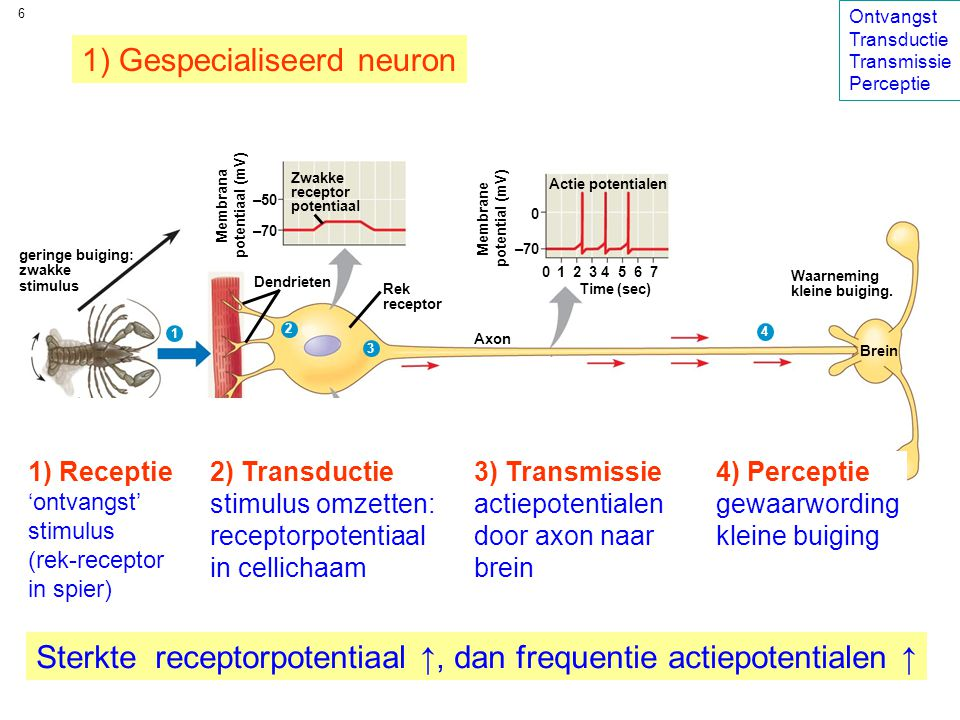 17 zintuig vereniging van zintuigcellen tot één orgaan vaak vindt hier ook nog versterking van het signaal plaats