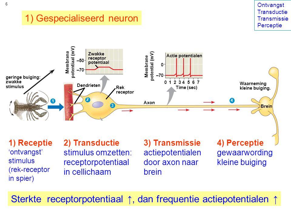 6 geringe buiging: zwakke stimulus Rek receptor Membrana potentiaal (mV) Axon Dendrieten Sterke receptor potentiaal Zwakke receptor potentiaal Spier –50 –70 Membraan potentiaal (mV) –50 –70 Actie potentialen Membrane potential (mV) Grote buiging: sterke stimulus Reception 0 –70 0 1 2 3 4 5 6 7 Membrane potential (mV) Time (sec) 1 2 3 4 5 6 7 Time (sec) Brein Waarneming grote buiging Waarneming kleine buiging.