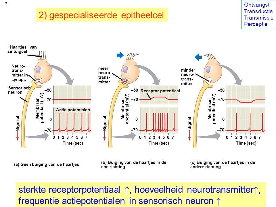Haartjes van zintuigcel Neuro- trans- mitter in synaps Sensorisch neuron meer neuro- trans- mitter minder neuro- trans- mitter Actie potentialen Membraan potentiaal (mV) 0 –70 0 1 2 3 4 5 6 7 Time (sec) Signaal –70 –50 Receptor potentiaal Membraan apotential (mV) 0 –70 0 1 2 3 4 5 6 7 Time (sec) –70 –50 Membraan potentiaal (mV) 0 –70 0 1 2 3 4 5 6 7 Time (sec) –70 –50 Signal 7 (a) Geen buiging van de haartjes (b) Buiging van de haartjes in de ene richting (c) Buiging van de haartjes in de andere richting 2) gespecialiseerde epitheelcel sterkte receptorpotentiaal ↑, hoeveelheid neurotransmitter↑, frequentie actiepotentialen in sensorisch neuron ↑ Ontvangst Transductie Transmissie Perceptie