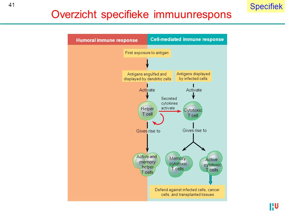 Specifiek Overzicht specifieke immuunrespons Humoral immune response Cell-mediated immune response First exposure to antigen Antigens engulfed and displayed by dendritic cells Antigens displayed by infected cells Activate Gives rise to Helper T cell Cytotoxic T cell Active and memory helper T cells Memory cytotoxic T cells Active cytotoxic T cells Defend against infected cells, cancer cells, and transplanted tissues Secreted cytokines activate 41