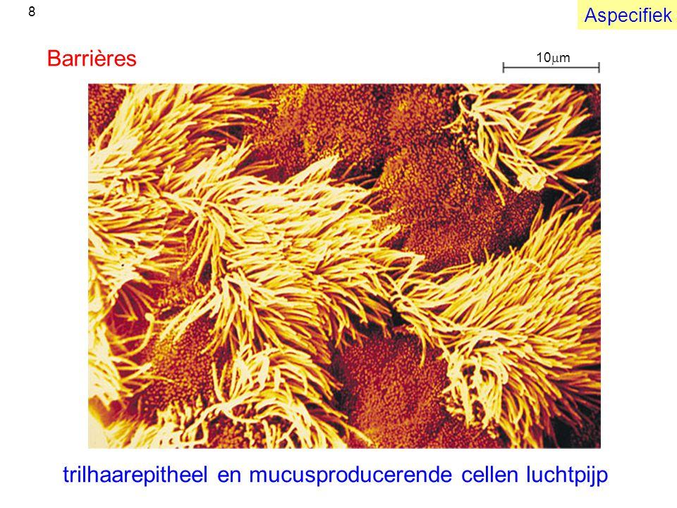 10  m Barrières trilhaarepitheel en mucusproducerende cellen luchtpijp Aspecifiek 8