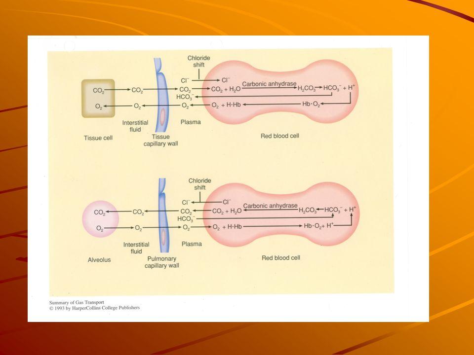 Regulatie van de ademhaling Ademhalingscentrum in de medulla oblongata (in de hersenstam) Input: -centrale chemosensoren in de hersenstam reageren op stijging arteriële pCO 2 en/of daling pH -perifere chemosensoren reageren (sneller, maar minder gevoelig) op stijging arteriële pCO 2 en/of daling pH en op een extreme daling van de pO 2 -normaal wordt de ademhaling dus geregeld door de centrale chemosensoren.
