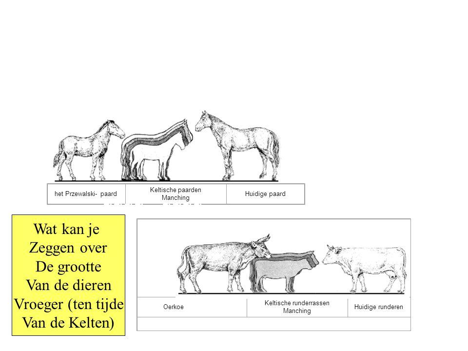het Przewalski- paard Keltische paarden Manching Huidige paard Oerkoe Keltische runderrassen Manching Huidige runderen Wat kan je Zeggen over De grootte Van de dieren Vroeger (ten tijde Van de Kelten)